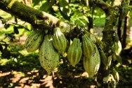 Plantacja kawy (23)