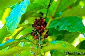 Plantacja kawy (4)